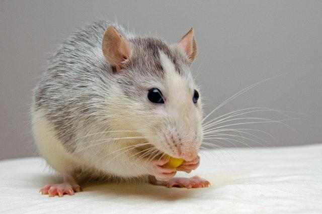Deratyzacja chroni mieszkańców przed groźnymi chorobami przenoszonymi przez szczury